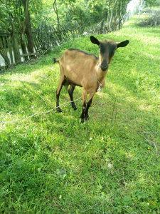 Prodajem 2 alpske koze i 3 jareta