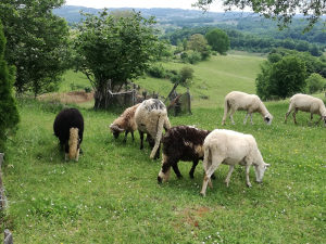 Ovce sa jagnjadima
