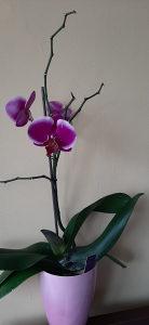 orhideja sa cvijetom 10KM
