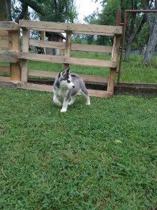Sibirski haski - muško štene