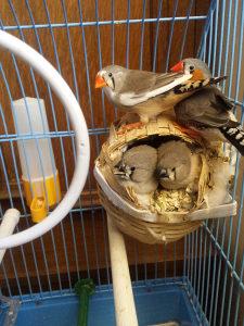 Ptice Australijske zebe
