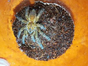 Tarantule (slingovi) P. Murinus