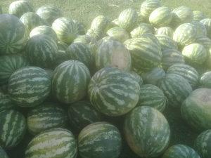 Prodajem njivu lubenice  kraljica slasti na veliko