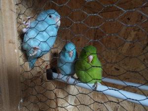 Vrapčasti papagaji