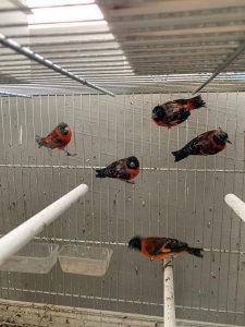 Ptice venecuelanske cajzle (zenke)