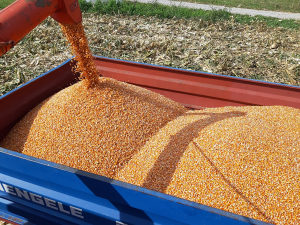 Kukuruz Pajdas upakovan po 25 kg