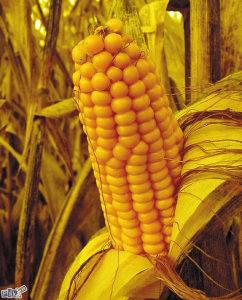 Domaci kukuruz u klipu i zrnu zrno klip zito žito