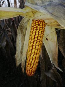 Kukuruz-kukuruzi-pajdaš