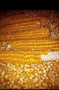 Kukuruz, Žito bosanac