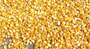 Žito u zrnu