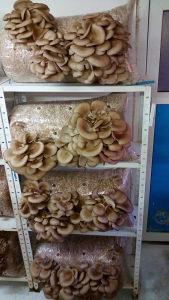 Kompost gljive  bukovače