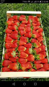 Sadnice jagoda jagode Roksana 065 580 401