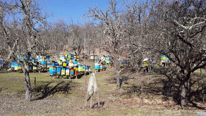 veći broj pčelinjih zajednica tel: 061/838-037