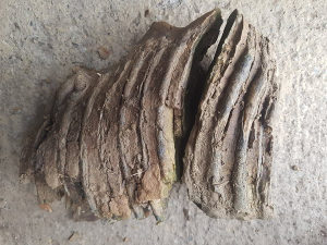 Zub vunastog  mamuta