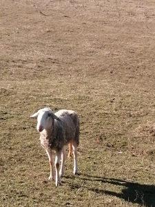 Ovca Vinterbeg