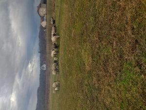 Ovce jagnjad