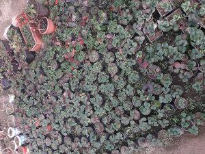 sadnice jagode mjesecarke