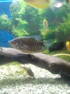 Ribice trihogaster