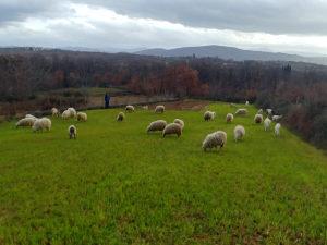 Prodajem koze, ovce. (062/967-340)