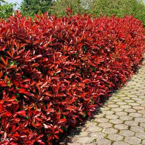 Crvena živa ograda FOTINIJA-zimzelena