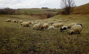 Prodajem ovce i janjce