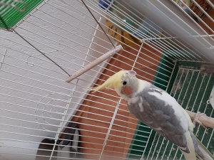 Papagaj ninfa sa kavezom
