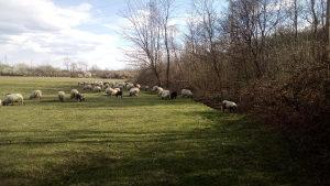 Jagnjadi i ovce