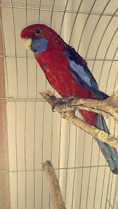 Papagaja penata