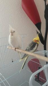 Papagaji nimfe