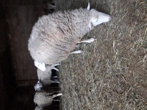 Ovce slovenke drzanje sjajne janjad