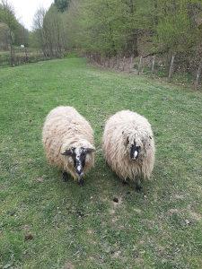 3 sjanjne,krupne ovce za dalje držanje