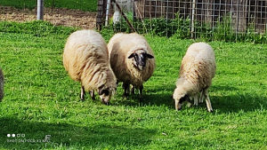 Ovce romanovske i pramenke