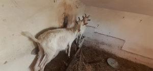 Koze muzare