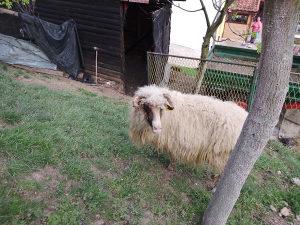 Prodajem ovcu