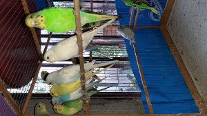 Papagaji tigrice 062 333 594
