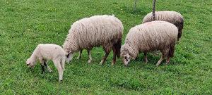 Ovce i janjci
