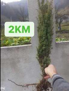 Sadnice smreke visine 1m 2km 061400190