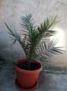 palma drvo palme