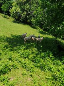 Ovce kurbani