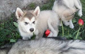 Aljaski malamut i akita inu štenci na prodaju