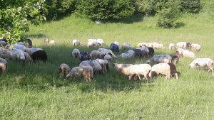 Ovce ovnovi