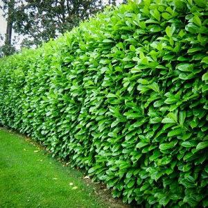 Sadnice lovor višnja- živa ograda- U saksijama