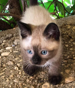 Sijamski mačići Sijamska mačka