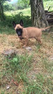 Bilgijski ovcar-malinoa