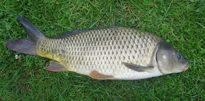 Riba Sarani