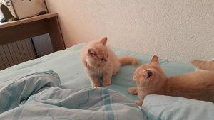 Britanska čistokrvna mačka - mačići