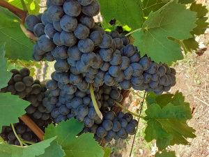Vranac grozdje