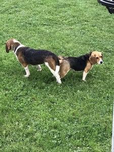 Bigl stenci, beagle