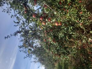 Jabuka neprskana