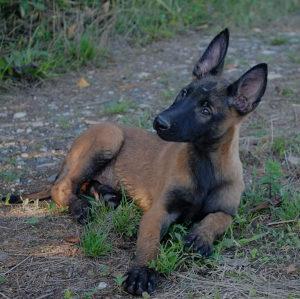 Belgijski ovčar malinoa, štene.